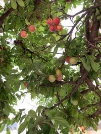 プラムの木 - BEAUTIFUL THING