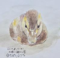 #野鳥スケッチ #ネイチャー・ジャーナル 『軽鴨』Anas zonorhyncha - スケッチ感察ノート (Nature journal)