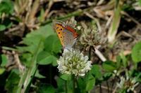 ■シジミチョウ 3種19.6.27(ベニシジミ、ヤマトシジミ、ルリシジミ) - 舞岡公園の自然2