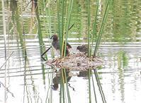 幼鳥が多く見られます・・・★先週末の鳥類園(2019.6.22~23) - 葛西臨海公園・鳥類園Ⅱ