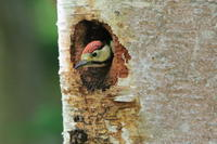 アカゲラの巣立ちビナ - 今日の鳥さんⅡ