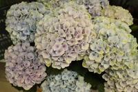 店内の鉢植えさんたち - 北赤羽花屋ソレイユの日々の花