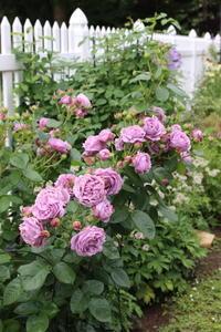親指姫のバラ&紫陽花のドレス - ペコリの庭 *