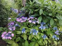 庭に咲いてる紫陽花 - だんご虫の花