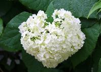 ハートのアジサイ♡アナベル - ・・・花に想いをのせて・・・