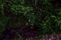 雨に邪魔されたホタル撮影@高麗の里 - デジカメ写真集