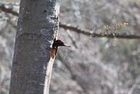 木屑を飛ばせ!クマゲラ - やぁやぁ。