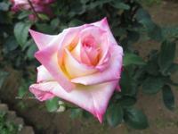 「ダイアナ妃」という名の薔薇 - イタリアワインのこころ