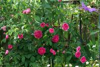 シャルルドミルが咲いてきた庭♪(5月21日) - Reon with LR & Roses