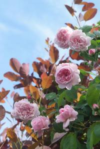 青空と流れる雲とファンタンラトゥール(5月21日) - Reon with LR & Roses