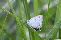 ウラジロミドリシジミ - 蝶と自然の物語