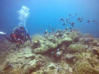 石垣島の極上サンゴとアカネハゼ♪ - 石垣島てぃだダイビングサービス