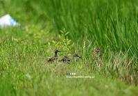 タマシギ親子 ② - azure 自然散策 ~自然・季節・野鳥~