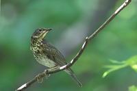 クロツグミの若鳥 - 上州自然散策2