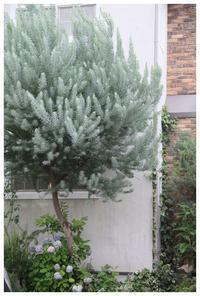 シルバーグリーンの葉っぱの木 - natu     * 素敵なナチュラルガーデンから~*     福岡で庭造り、外構工事(エクステリア)をしてます