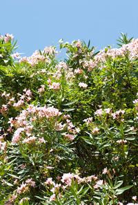 キョウチクトウの花(松山総合公園) - かたくち鰯の写真日記2