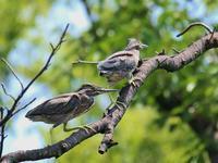 幼鳥たち、、 - ぶらり探鳥