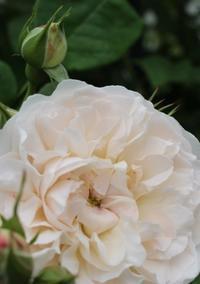 ボタンアイのバラ♪ジオルブライトンランブラー - ペコリの庭 *