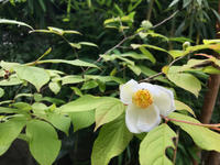 夏椿とヤマモモ - マリカの野草画帖