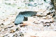 蒼白いナガサキアゲハなど「台湾と関東南部の黒系鳳蝶(和名:アゲハチョウ)」 - ヒメオオの寄り道