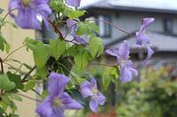 オベリスクのクレマチス - my small garden~sugar plum~