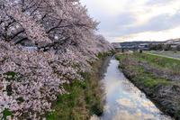 桜咲く京都2019やすらぎの道(宇治田原町) - 花景色-K.W.C. PhotoBlog