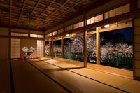 桜咲く京都2019ハートの夜桜(宇治田原町・正壽院) - 花景色-K.W.C. PhotoBlog