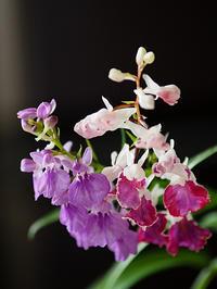 羽蝶蘭(1) - 花ごよみ~山野草に魅せられて~