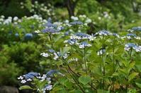 元浜緑地の紫陽花 - たんぶーらんの戯言