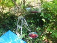 庭の実のなる木 - アオモジノキモチ