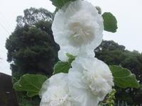 マイガーデン~夏の花たち - アオモジノキモチ