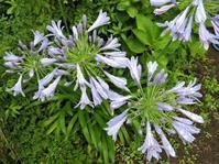 雨の中の花と小梅干し - ないものを あるもので