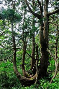 大佐渡石名天然杉 - くろちゃんの写真