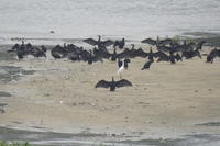 野鳥 大和川 大阪府内 2019年6月下旬 - 大和川野鳥撮影日記 大阪府内限定  鳥達の勝手気ままな生活を撮影  絶好の場面を期待し、通っています