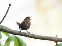 大きな声で囀るミソサザイ - コーヒー党の野鳥と自然 パート2