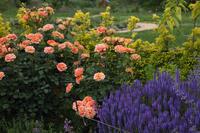 バラ咲き誇る中之条ガーデンズ⑦ビビットカラーのガーデン#2 - 風の彩り-2
