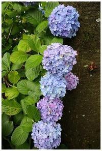 縦に並んだ紫陽花 -  one's  heart