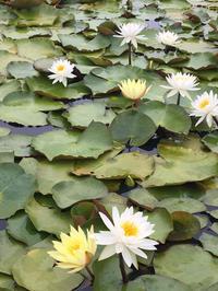 未草(ひつじぐさ)と睡蓮(すいれん) - 自然を見つめて自分と向き合う心の花
