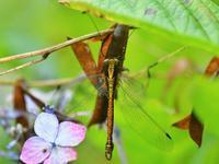 雨上がりの里山公園ツノトンボ他 - 不定期更新 彩都付近の自然観察日記