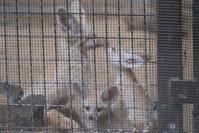 フェネックの赤ちゃん - 動物園に嵌り中