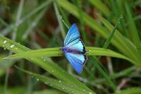 ジョウザンミドリシジミ・ハヤシミドリシジミ他 - Lycaenidaeの蝶鳥撮影日記