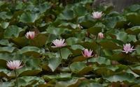 元浜緑地もみじ池の睡蓮と鴨 - たんぶーらんの戯言