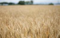 麦畑にて - へっぽこな・・