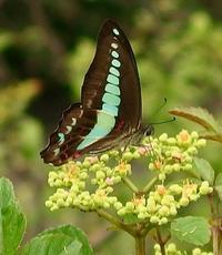 #チョウ 『青条揚羽』 Graphium sarpedon - 自然感察 *nature feeling*