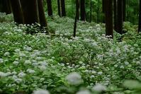 コアジサイの咲く森大天井ヶ岳 - 峰さんの山あるき