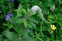■三種混合19.6.30(オカトラノオ、トモエソウ、キキョウ) - 舞岡公園の自然2