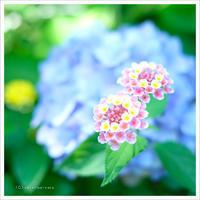 小さな紫陽花 。°* - かめらと一緒*