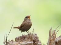 ミソサザイが元気一杯 - コーヒー党の野鳥と自然 パート2