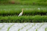 夏羽 アマサギ - azure 自然散策 ~自然・季節・野鳥~