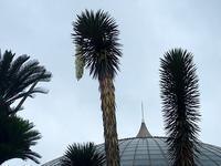 ユッカはリュウゼツラン科 - 手柄山温室植物園ブログ 『山の上から花だより』